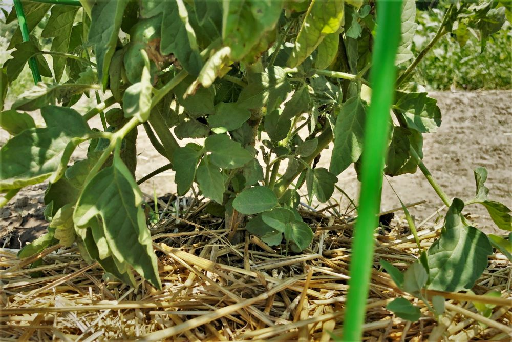 Unpruned tomato plant bottom