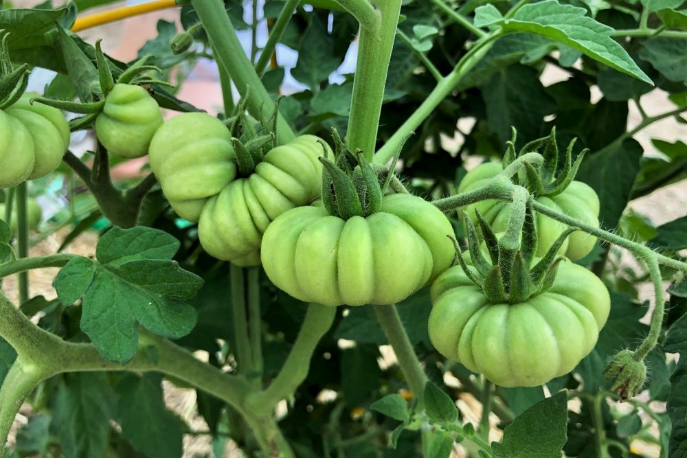 Unripe Costoluto Genovese heirloom tomatoes - Increase tomato yield