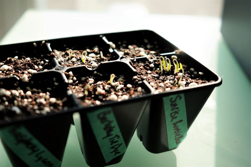 Tomato hook sprouts