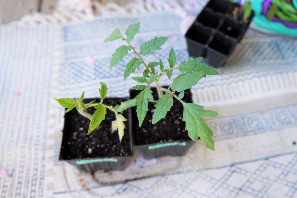 Berkeley Tie Dye tomato seedling