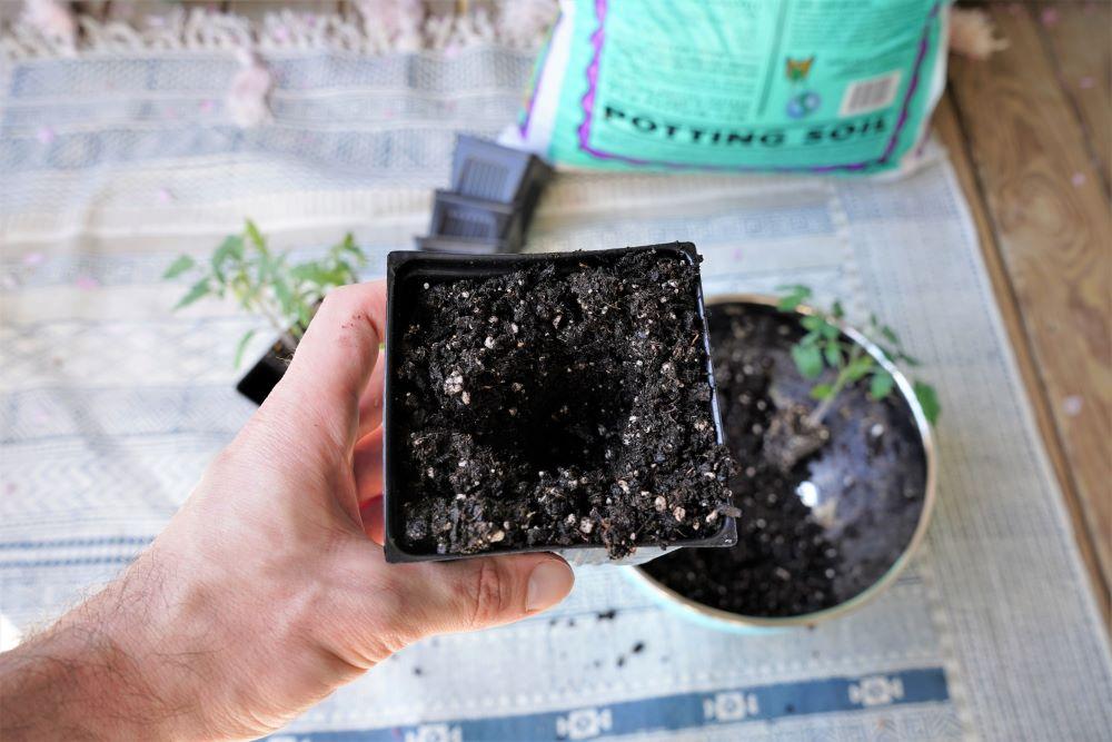 Preparing soil for transplanting tomatoes