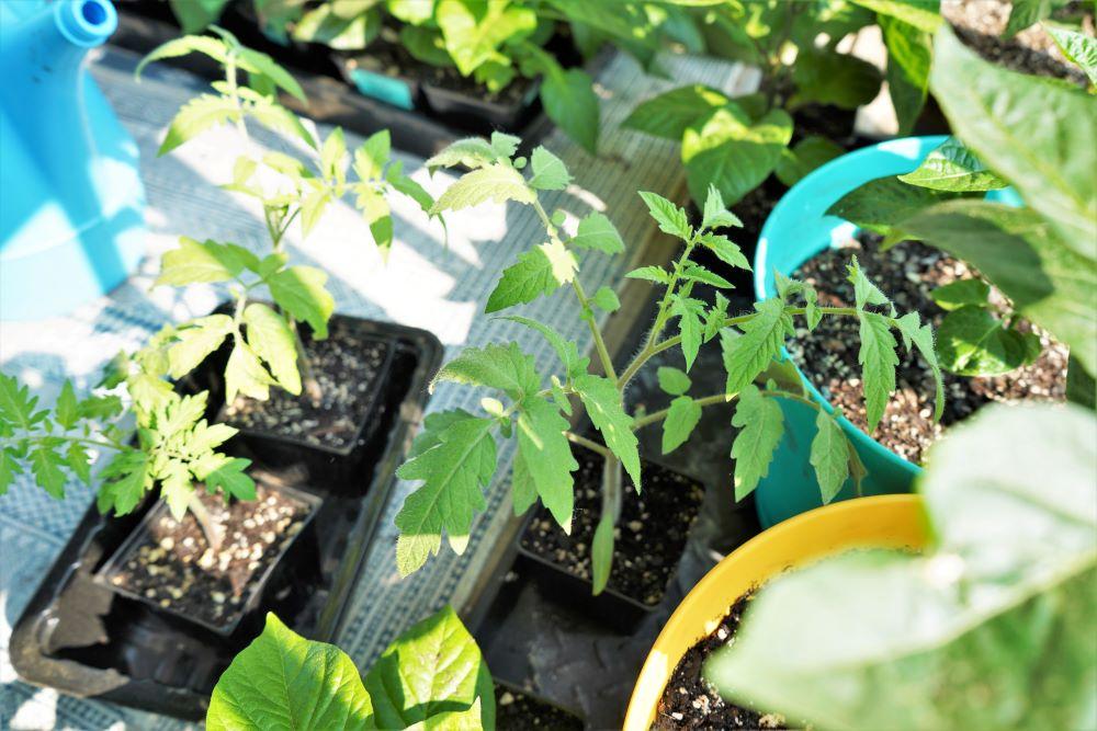 Tomato plant hardening off