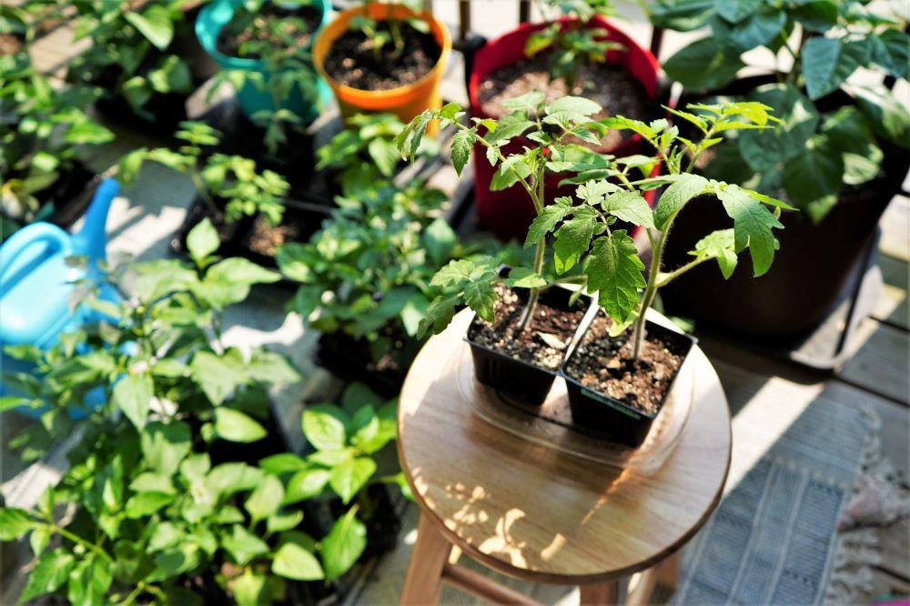 Tomato plants hardening off in spring