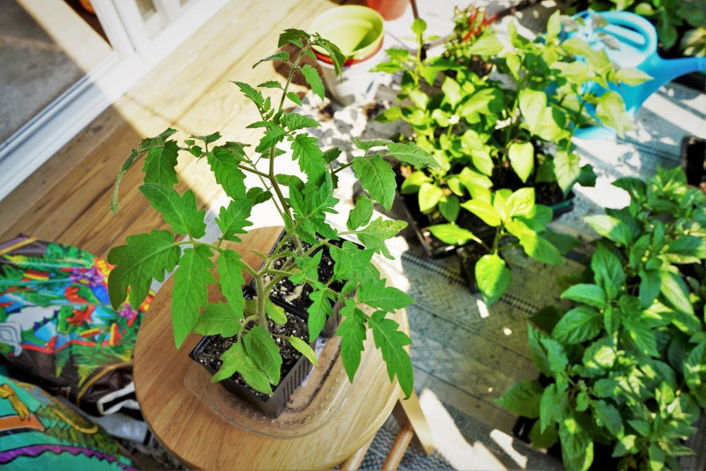 Tomato plants hardening off in shade