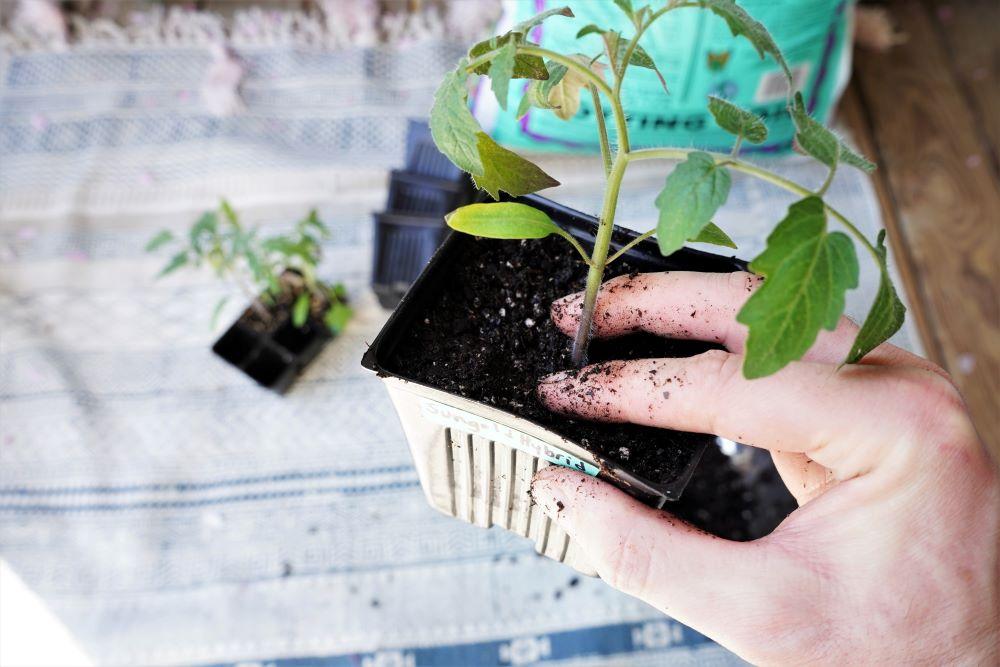 Transplanting tomato seedlings into soil