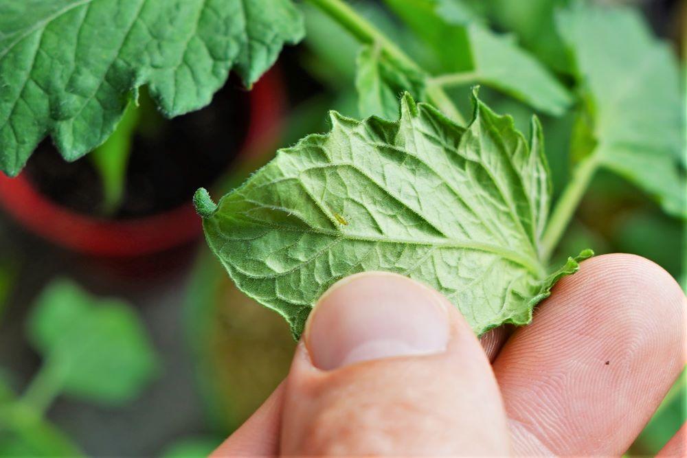 Aphid on tomato leaf underside