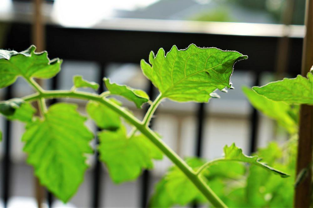Aphid on tomato leaf